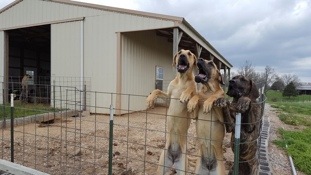 This is Zeus's Great Dane – Great Danes Fawn Brindle AKC