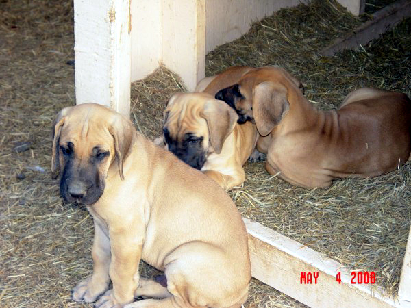 This Is The Past Fawn Brindle Black Blue Litters Great Dane
